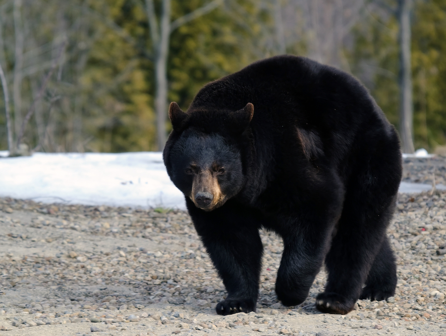 Pro Tips For Field Judging Black Bears | Muley Freak |